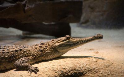 Différencier le crocodile de l'alligator sans se tromper